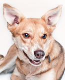 Dog smile Royalty Free Stock Photo
