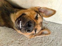 Dog smile Stock Photography