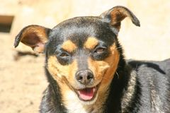 Dog smile and happy in sunny day. Dog smile and happy in summer sunny day royalty free stock image