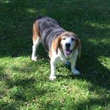 Dog smile. My beagle Bassett Hound dog taking a break from a run royalty free stock photo