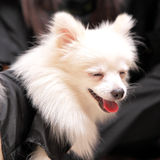 Dog smile, pomeranian Royalty Free Stock Photography