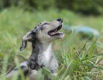 Dog smiling Stock Photography