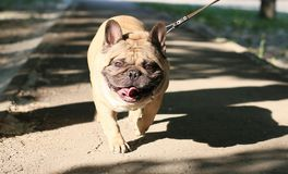 Dog smiling Royalty Free Stock Photo