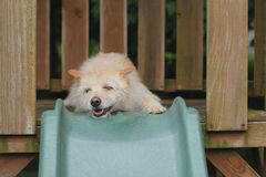 Dog smiling on the slide. Dog rests on the top of a slide with a smile Stock Photography