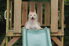 Dog smiling at top of slide. Dog smiles and sits at the top of the green slide Royalty Free Stock Photos
