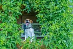 Dog. Smiling dog on treehouse. Summer time Stock Photos