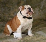 Dog smoking cigar Royalty Free Stock Photos