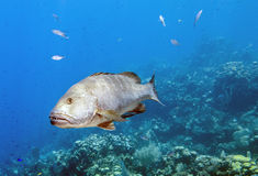 Dog snapper, Lutjanus jocu Stock Image