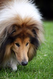 Dog sniffing. Rough Collie head in close up sniffing the grass Royalty Free Stock Image
