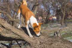 Dog sniffing around its territory on a nearest tree at fall season. Basenji dog sniffing around its territory on a nearest tree at fall season Royalty Free Stock Photo