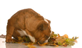 Dog sniffing autumn leaves Stock Images