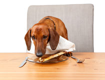 Dog sniffing at bone on plate at the table Royalty Free Stock Image