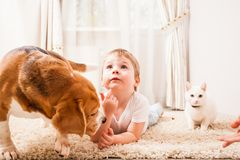 Happy childhood with pets. Dog sniffing the boz which is lying on the rug near the cat Royalty Free Stock Image