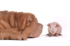 Dog sniffing a cavy Stock Image