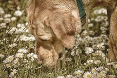 Dog Sniffing Chamomiles. FLowers on the Field Stock Image