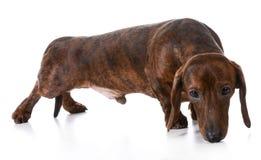 Dog sniffing Stock Photo