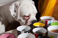 Dog sniffing drink in cups Royalty Free Stock Photography