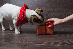 The dog is sniffing festive gift box. Dark wooden background. Dog in a trendy red bandana. Dog with festive gift box Stock Photography