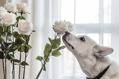 Dog sniffing flowers Stock Photography