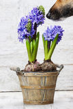 Dog sniffing hyacinth flowers in wooden pot Stock Photo