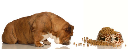 Dog sniffing out dog food Stock Photo