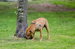 Dog sniffing a tree Royalty Free Stock Photos