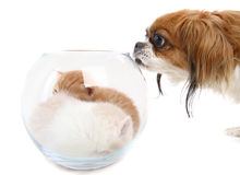 Dog sniffing a vase with kittens Royalty Free Stock Image