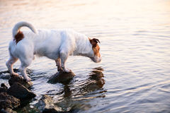 Dog sniffing water. Background for 404 error (not found page). Jack Russell Terrier looking for fish Royalty Free Stock Photos