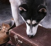Dog sniffs out drugs or bomb in a luggage. Dog sniffs out drugs or bomb in a luggage Royalty Free Stock Image