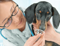 Dog sniffs stethoscope Royalty Free Stock Image