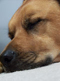 Dog snoot. Sleeping dog's face Royalty Free Stock Images