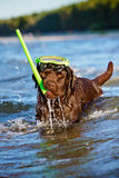 Dog with snorkeling equipment Stock Photography