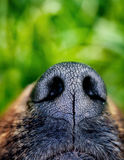 Dog snout. Dog close up. Animal nose Royalty Free Stock Image