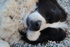 Dog snout resting Royalty Free Stock Photos