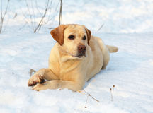 Dog in snow. Stock Image