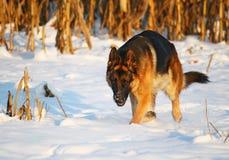 dog snow Στοκ φωτογραφίες με δικαίωμα ελεύθερης χρήσης