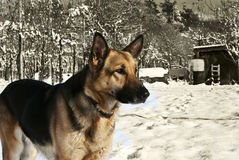 Dog in the snow. A german shepherd looking and making clear what the noises are about,while being in the snow Royalty Free Stock Photography