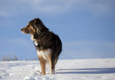 Dog in the snow. A dog with snow on his nose standing against a blue sky Royalty Free Stock Photos