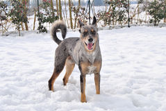 Dog and snow Royalty Free Stock Images
