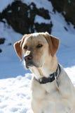 Dog in snow. Retriever labrador dog in snow winter Stock Photography