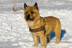 Dog in snow Stock Images
