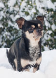 Dog in the snow. Small chihuahua dog standing in the snow Royalty Free Stock Photo
