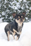 Dog in the snow. Small chihuahua dog standing in the snow Stock Images