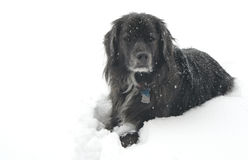 Dog in the Snow. A black dog lies in a field of white snow Stock Photography