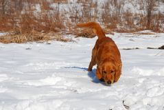 Dog at snow Stock Image