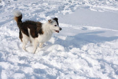 Dog in snow Royalty Free Stock Photos
