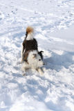 Dog in snow. Mongrel shaggy dog in snow Royalty Free Stock Images