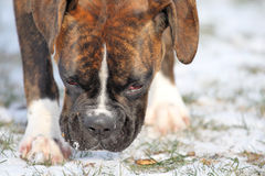 Dog in snow. A boxer dog in snow stock photography