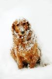 Dog at snow Royalty Free Stock Images