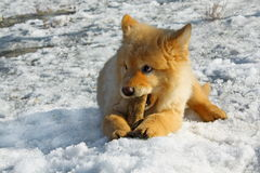 A dog on the snow Royalty Free Stock Photography